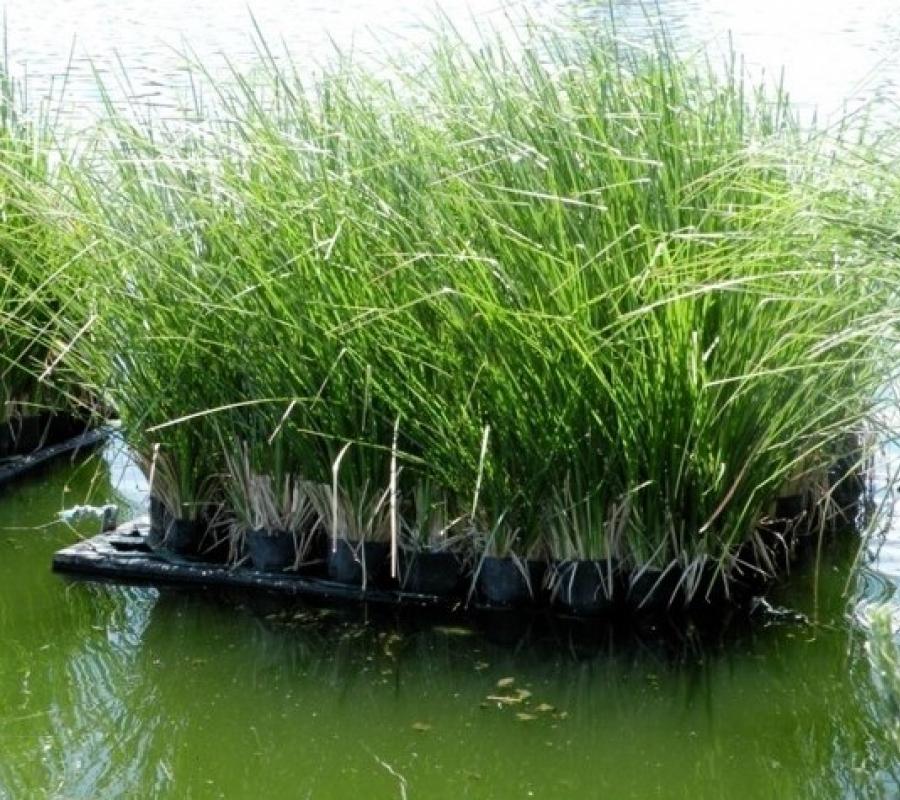 Cỏ Veriver được trồng phổ biến hiện nay