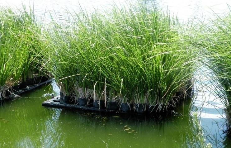 Ứng dụng cỏ vetiver trong Xử Lý Nước Thải